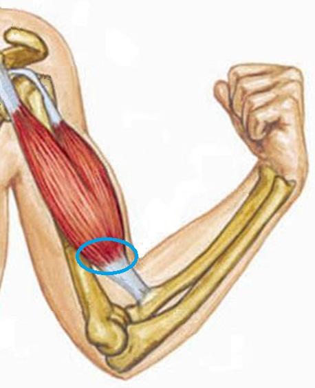 Двуглавая мышца плеча. Строение